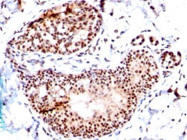 Mouse anti-SUMO1, Clone: SM1/495, Azide Free, Novus Biologicals:Antibodies:Primary